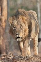 絶滅危惧種のインドライオン