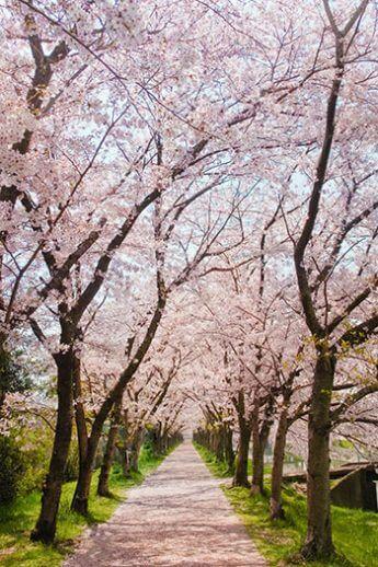 あの「桜坂」の舞台が実在する(写真はイメージ)