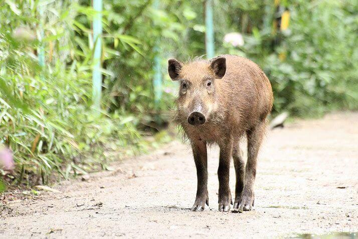 「猪 写真」の画像検索結果