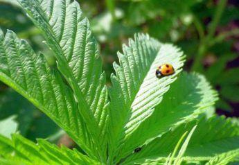 日本人の良識としての麻(大麻)栽培
