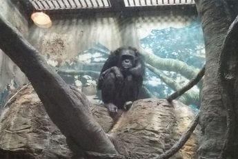天王寺動物園のチンパンジー