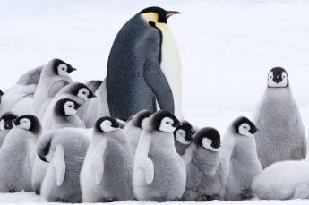 皇帝ペンギン「絶滅危機」に警鐘を鳴らす 映画『皇帝ペンギンただいま』監督インタビュー
